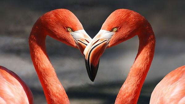 Zwei Schwäne bilden mit ihrem Hals eine Herzform